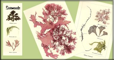 HANDMADE NATURAL SEAWEED ARTWORK